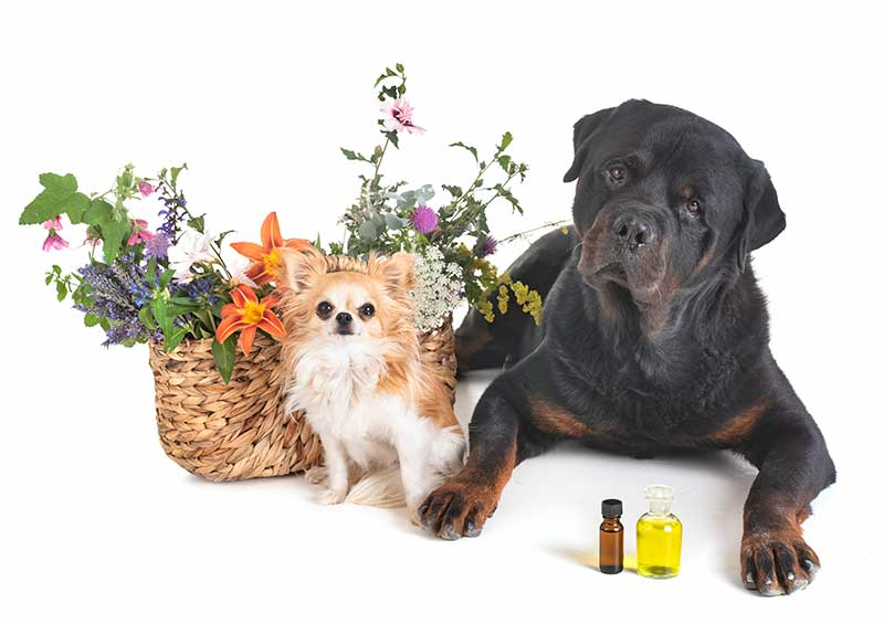 Essential oils and pets can lead to pet toxicity if you aren't practicing pet safety