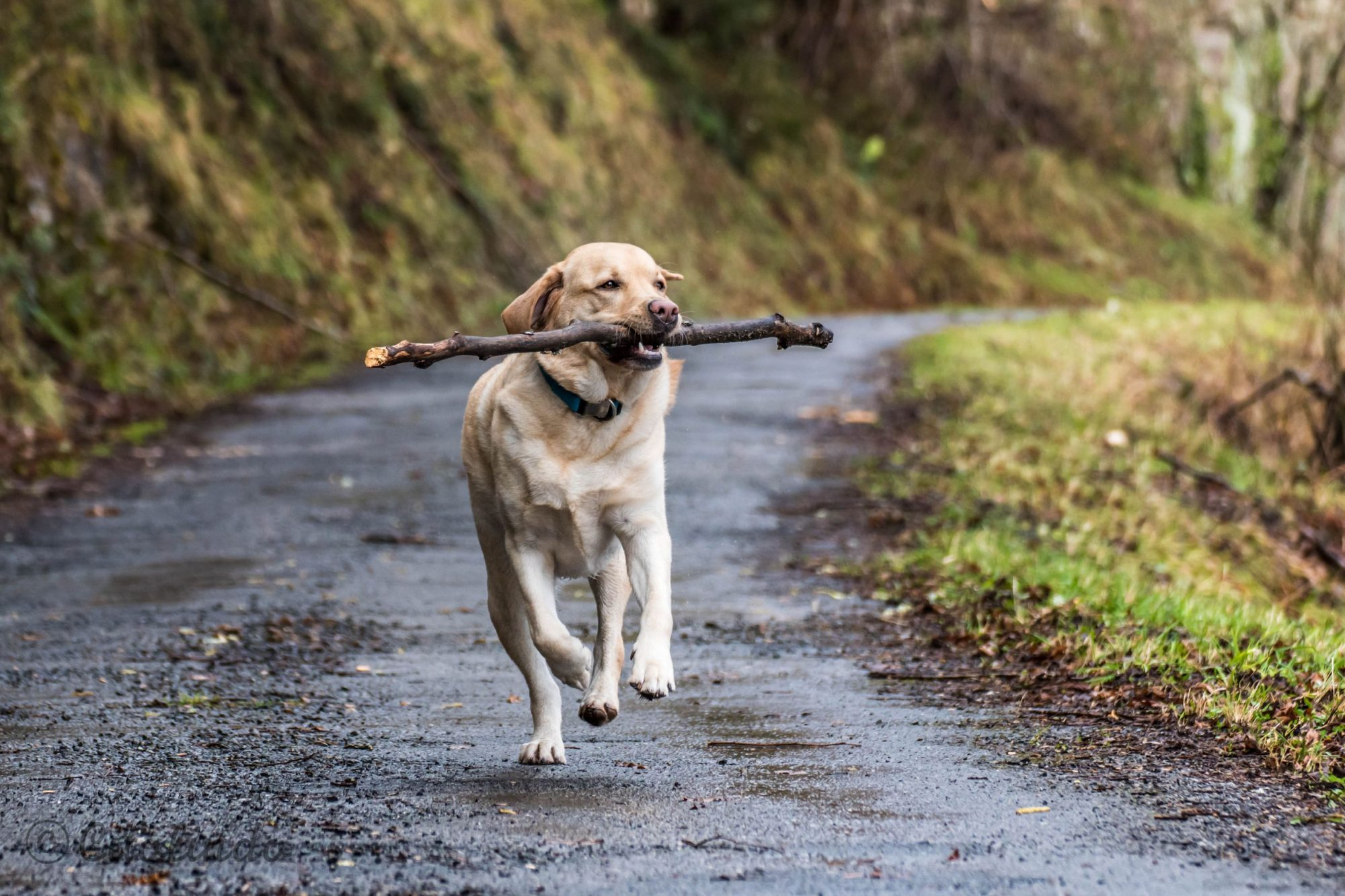 A dog carries a big stick in its mouth.